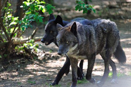 pack animal: Fauna selvatica: Esecuzione Pack di lupi neri in una foresta Archivio Fotografico
