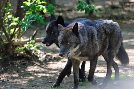 pack animal: Wildlife:  Running Pack of Black Wolves in a Forest