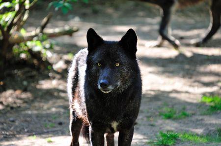 wild life: Nature:  Single Black Wolf with Yellow Eyes Stock Photo