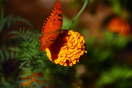 Orange butterfly on yellow flower pollen sucking photo
