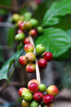natural coffee beans photo