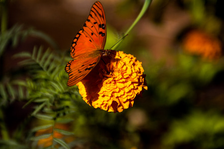 butterfly in yellow flower photo