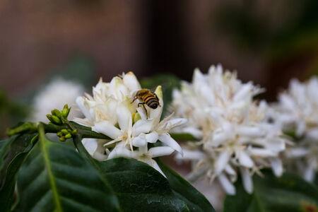 bee white flower photo