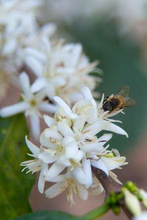 bee white flower photo