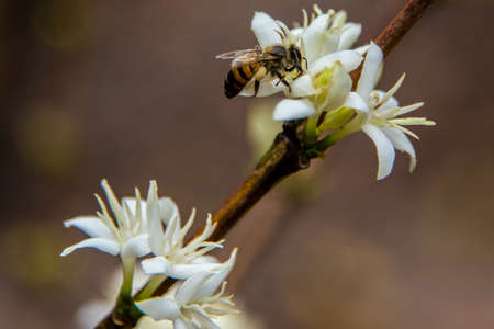 bee in white flowers photo
