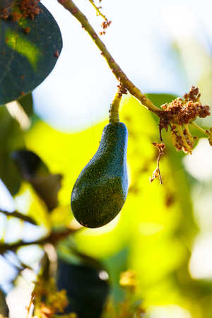 avocado in tree photo