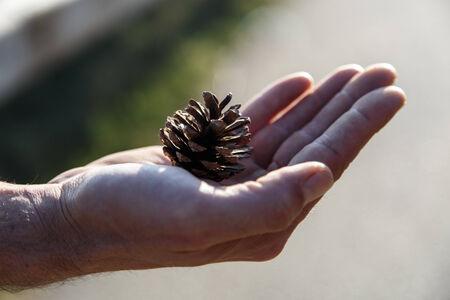 pine  fruit: pine fruit in hand