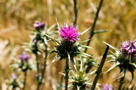Thistle in field photo