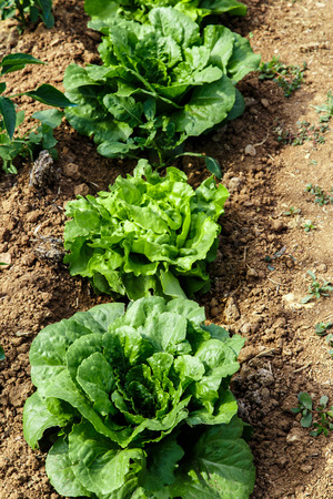 Lettuces plant group in garden photo