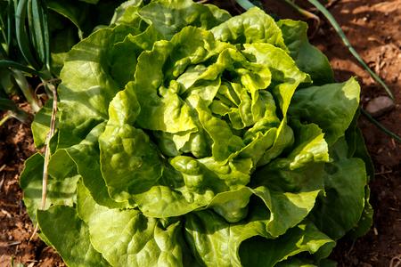lettuces: Lettuces plant group in garden