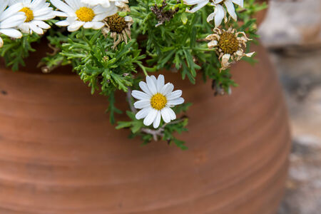 white flowers from garden in pot photo