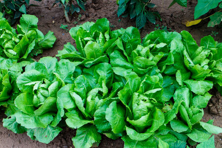 lettuce group from garden photo