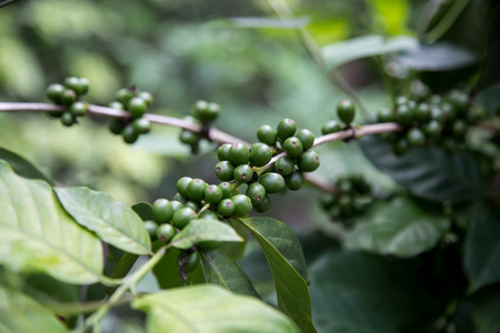 Green coffee beans growing on the branch in Nicaragua photo