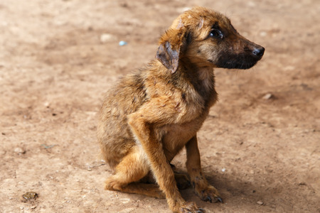 parasites: poor dog from a farm in Nicaragua Stock Photo