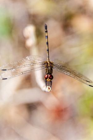 dropwing: Dragonfly detail