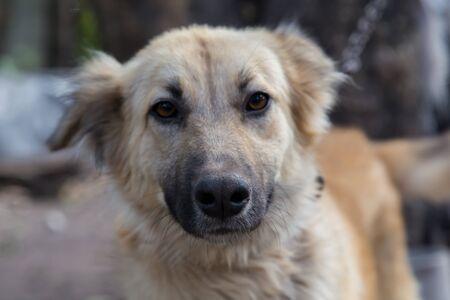 alsatian: portrait closeup from an alsatian dog female Stock Photo