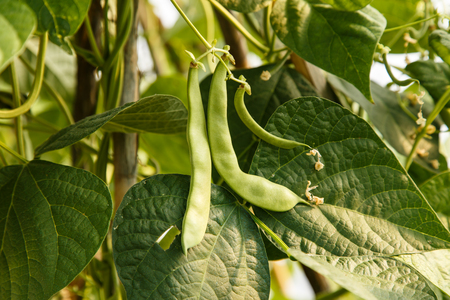 green beans in plant