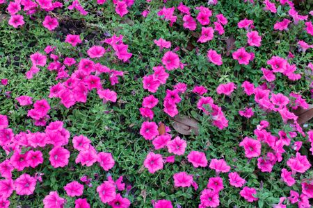 tuberosum: purple flowers Tuberous Cranesbill (Geranium tuberosum