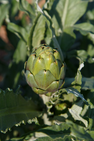 cardunculus scolymus: artichoke in plant Stock Photo