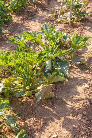 calabacin: Calabac�n crecen