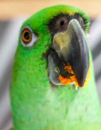 psittacidae: green parrot eating fruits, closeup photography