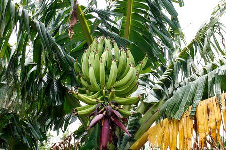 nicaraguan: Green bananas on tree with flower from nicaraguan farm