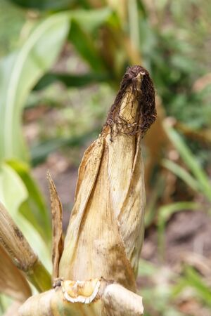 corncob: corncob detail from plantation from Nicaragua