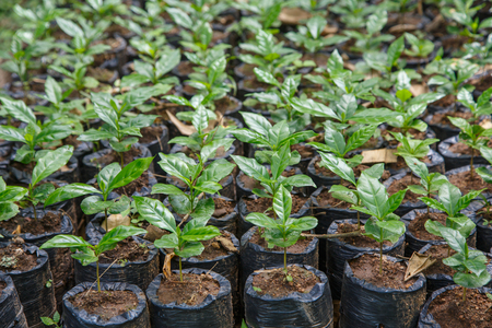 small coffee plants, nursery from Nicaragua