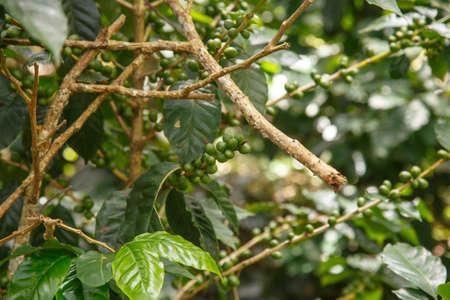 planta de cafe: planta de caf� con las habas verdes