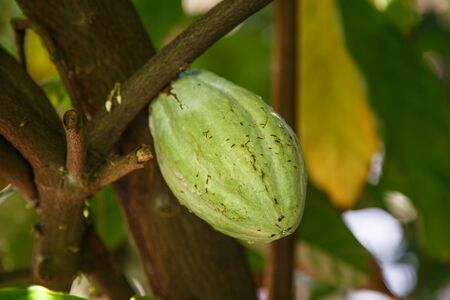 cocoa fruit: detail of a green cocoa fruit on plant from nicaragua Stock Photo