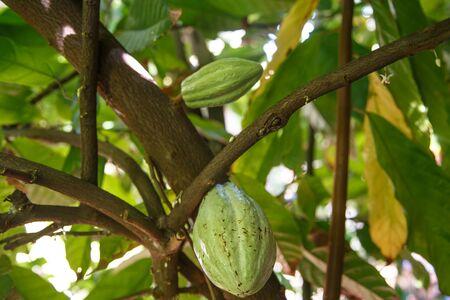 Detail einer grünen Kakaofrucht auf Pflanze aus Nikaragua