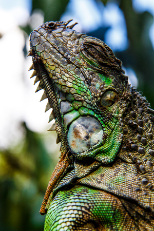 species of creeper: iguana Stock Photo