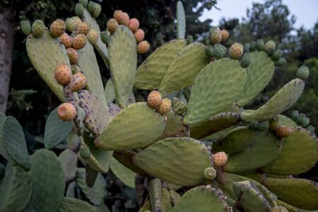 opuntia: prickly pear (opuntia) cactus with fruit