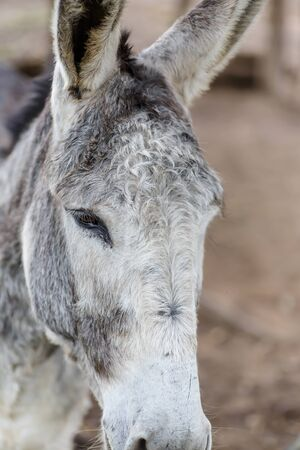 nicaraguan: grey donkey closeup detail from a nicaraguan farm