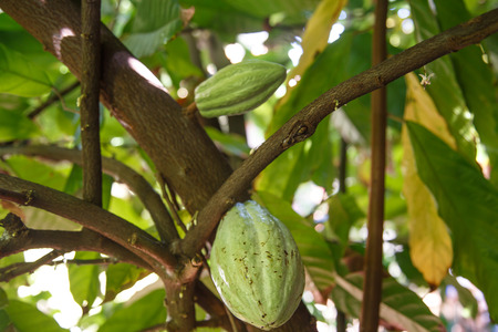 detail of a green cocoa fruit on plant from nicaragua Stock Photo