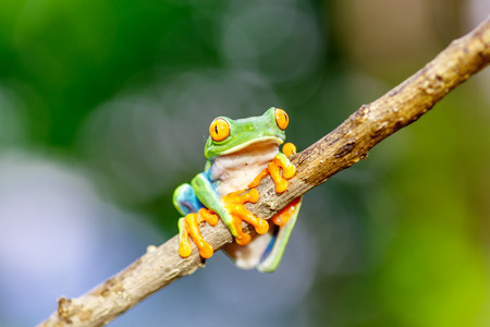 red eyed tree frog crawling between leafs in jungle in the tropical rainforest, cute night animal with vivid colors, agalychnis callidryas