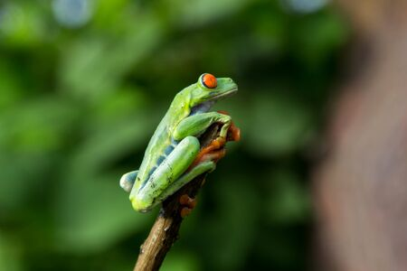 green frog with red eyes from Nicaragua. Agalychnis callidryas