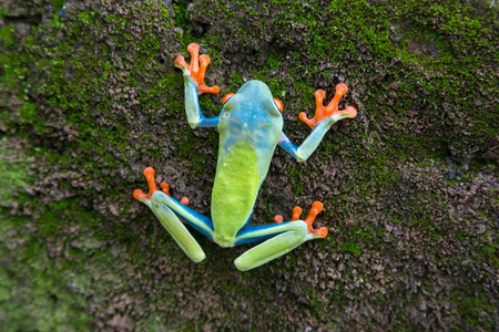 redeyed tree frog: Red-eyed Tree Frog, Agalychnis callidryas, Costa Rica Stock Photo