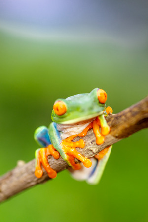 redeyed tree frog: green frog with red eyes from Nicaragua. Agalychnis callidryas