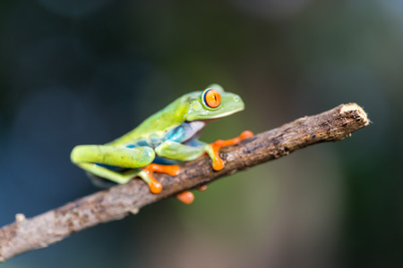 redeyed tree frog: Red-Eyed Amazon Tree Frog. Agalychnis callidryas