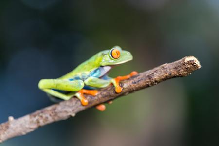 Red-Eyed Amazon Tree Frog. Agalychnis callidryas