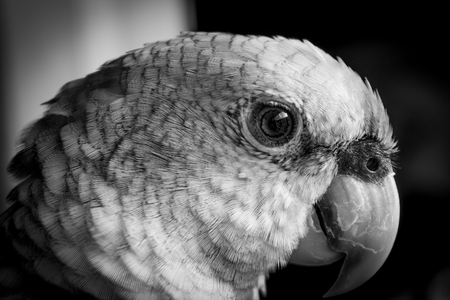 bn: head detail of parrot, black and white picture Stock Photo