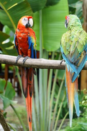 nicaragua: tropical parrots in nature Stock Photo
