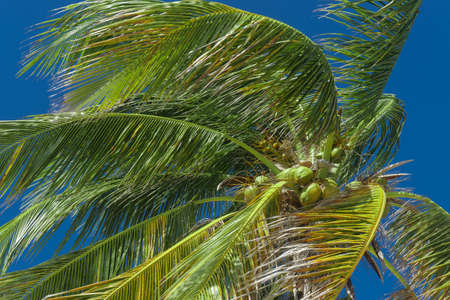 dominican: coconut palm, tropical concept
