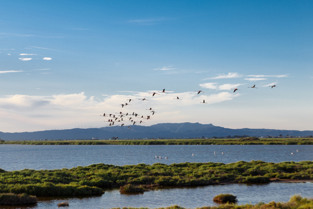flamingos flying in the natural park delta del ebro. Catalonia