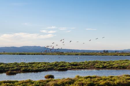 Flamingos flying in the natural park delta del Ebro. Catalonia