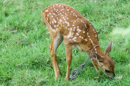 Deer in captivity eating