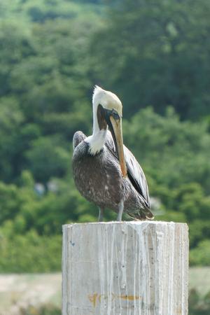 Quiet brown pelican Фото со стока