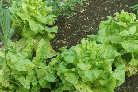 Organic lettuce in the garden Zdjęcie Seryjne - 121394144