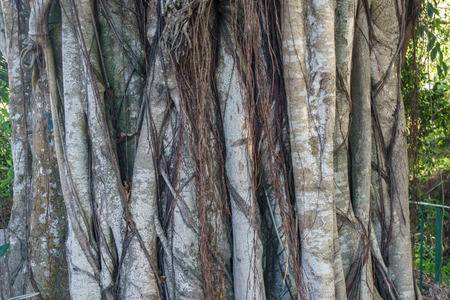 big tree roots detail